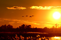 Silhouettes of Sandhill Cranes( Grus canadensis) in Flight at Sunset