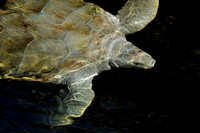 Adult Sea Turtle