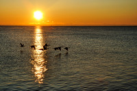 Silhouettes of Canadian Geese Flying over Lake Michigan at Sunrise