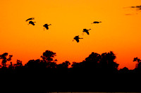 Silhouettes of Sandhill Cranes (Grus canadensis) at Sunset