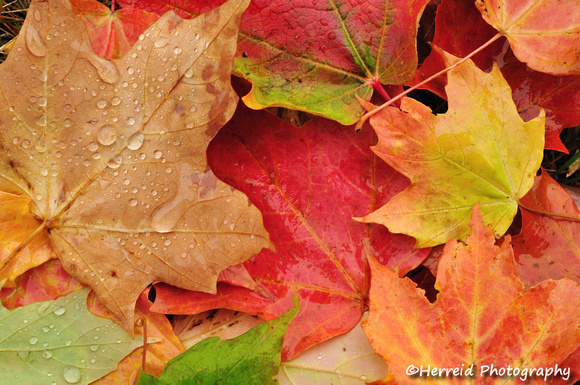 Wet Colorful Maple Leaves