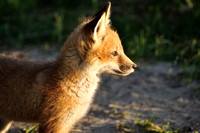 A Red Fox Kit in the Late Evening Sunshine